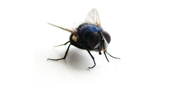 mosca - disinfestazioni Sassari Sardegna