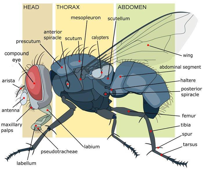 mosca_anatomia