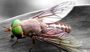 Disinfestazioni mosche tabanide in Sardegna