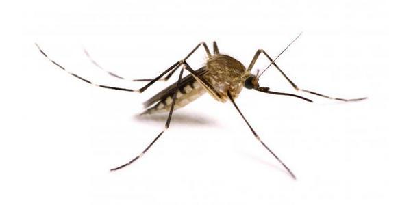 zanzara - disinfestazioni Sassari Sardegna